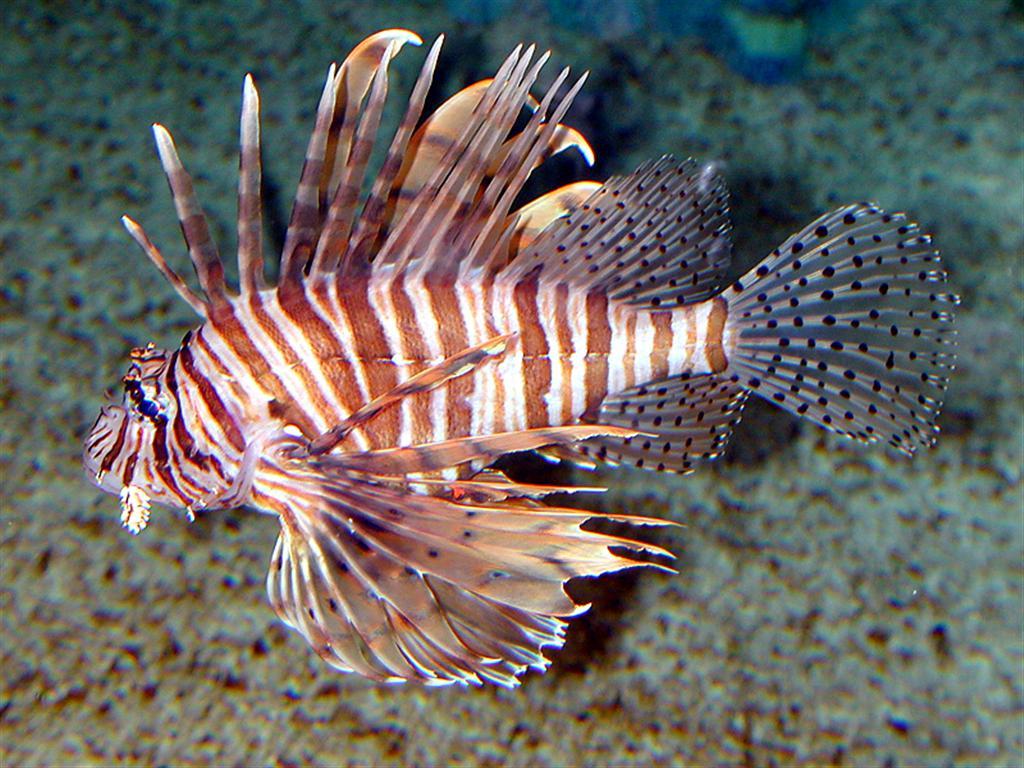 Cozumel Lionfish