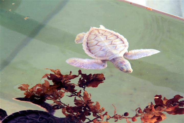 Cozumel's rare albino turtle