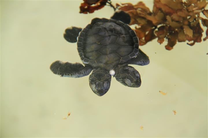 Cozumel rare 2 headed turtle