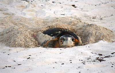 Turtle in a nest